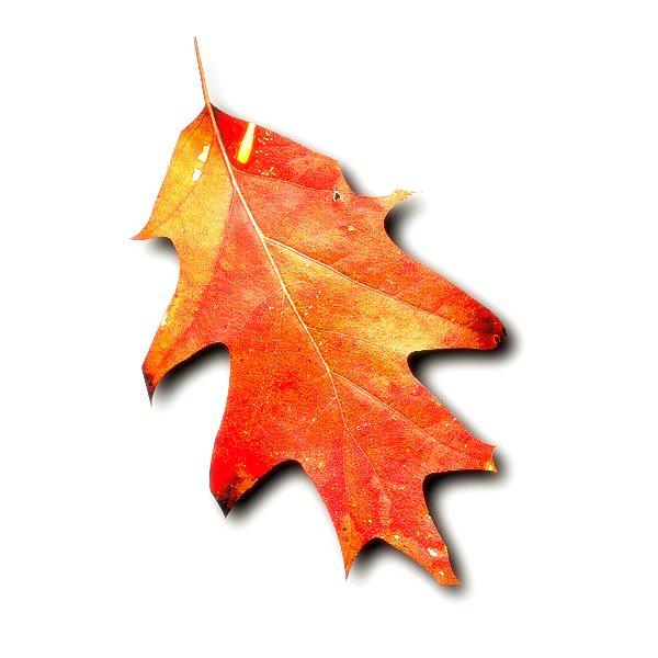 Oak leaf picture